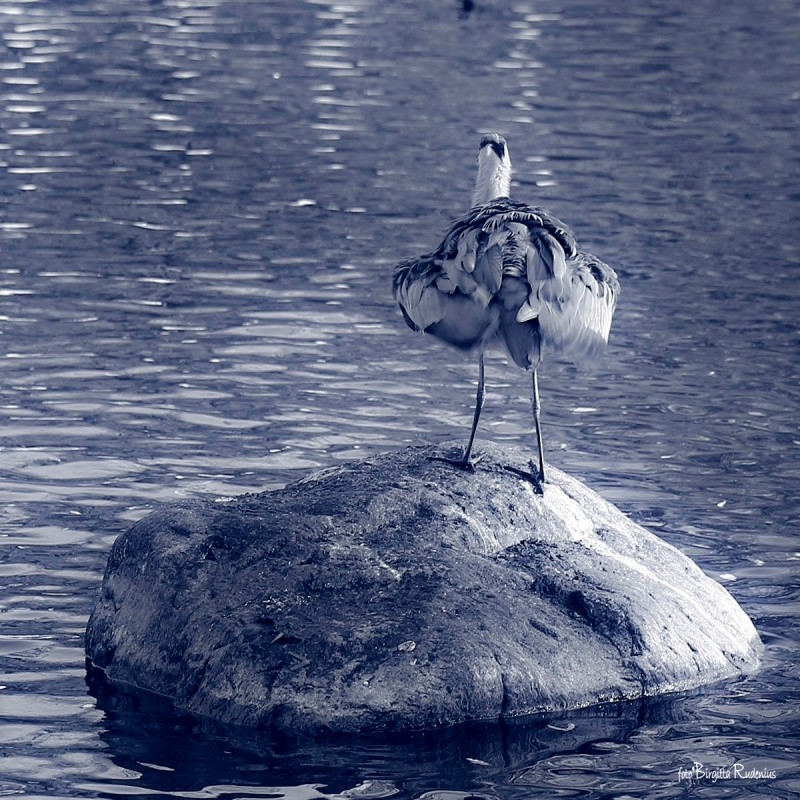 Heron preening its feathers
