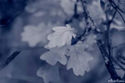 Blue - Oak Leaves