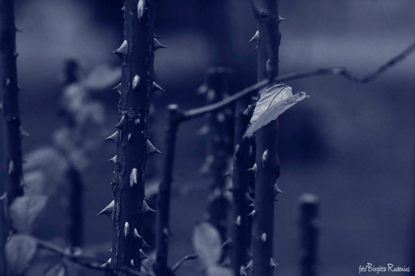Blue - Thorns in my side