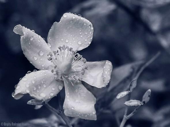 Blue Flower Rain Drops