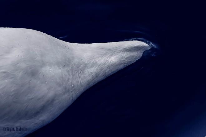 Blue Swan - Deep Head
