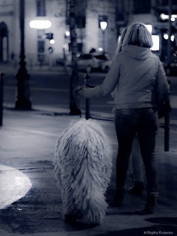 Blue Commodore Dog