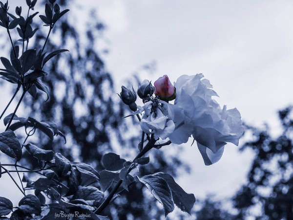 Blue Photomania Rose